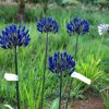 Agapanthus Blue Berry